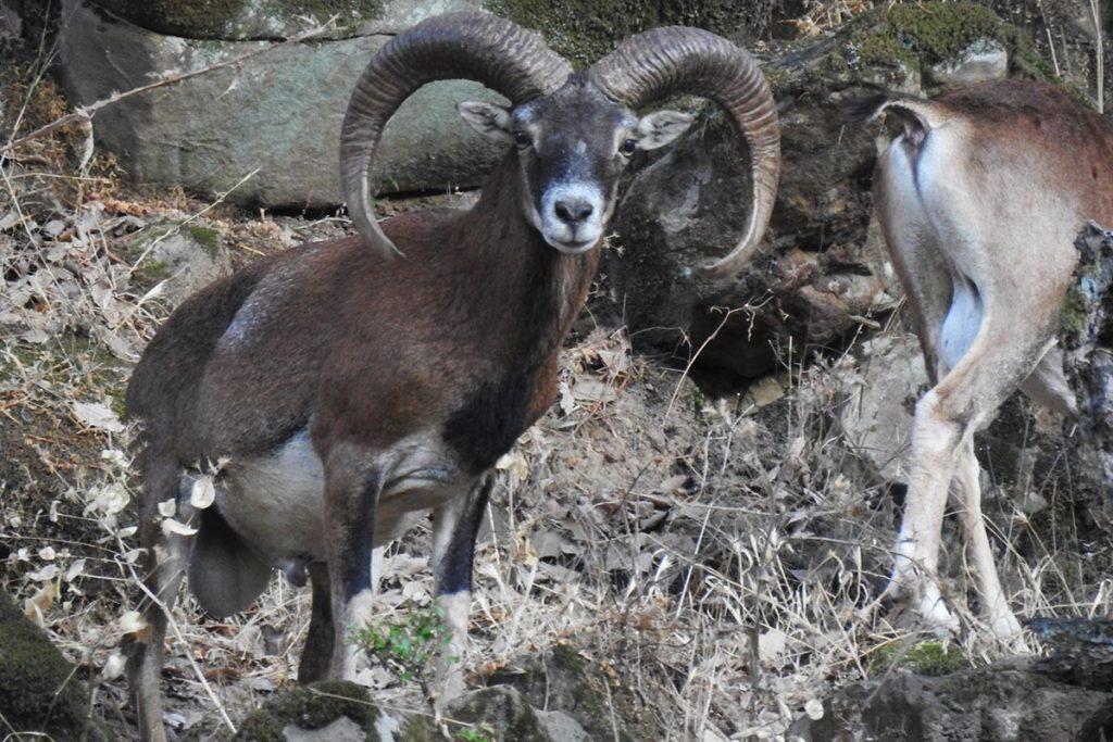 mouflon hunt spain hunting cadiz andalucia
